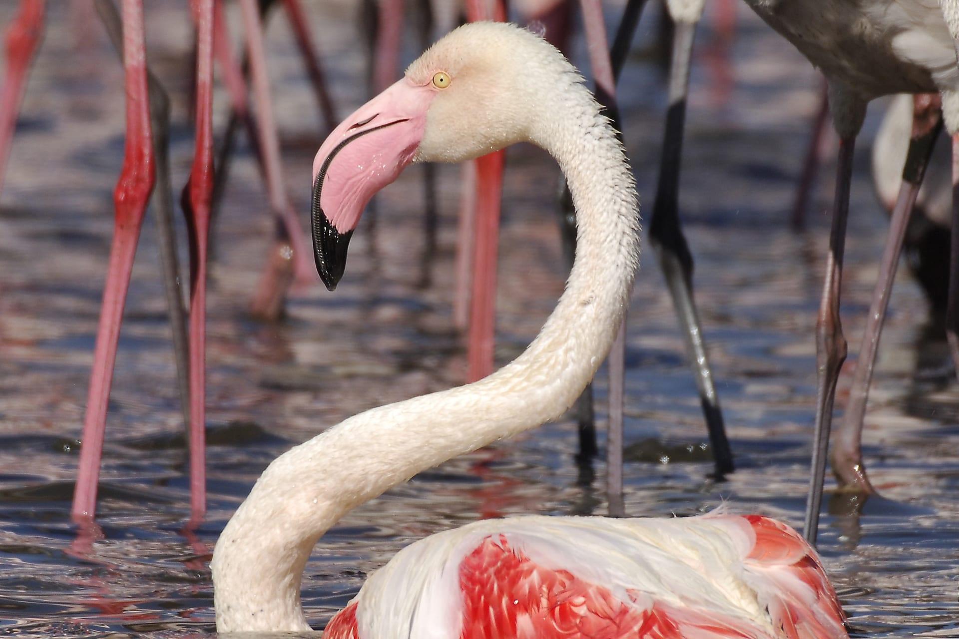 Europese Flamingo Dieren Van Dierenrijk D 233