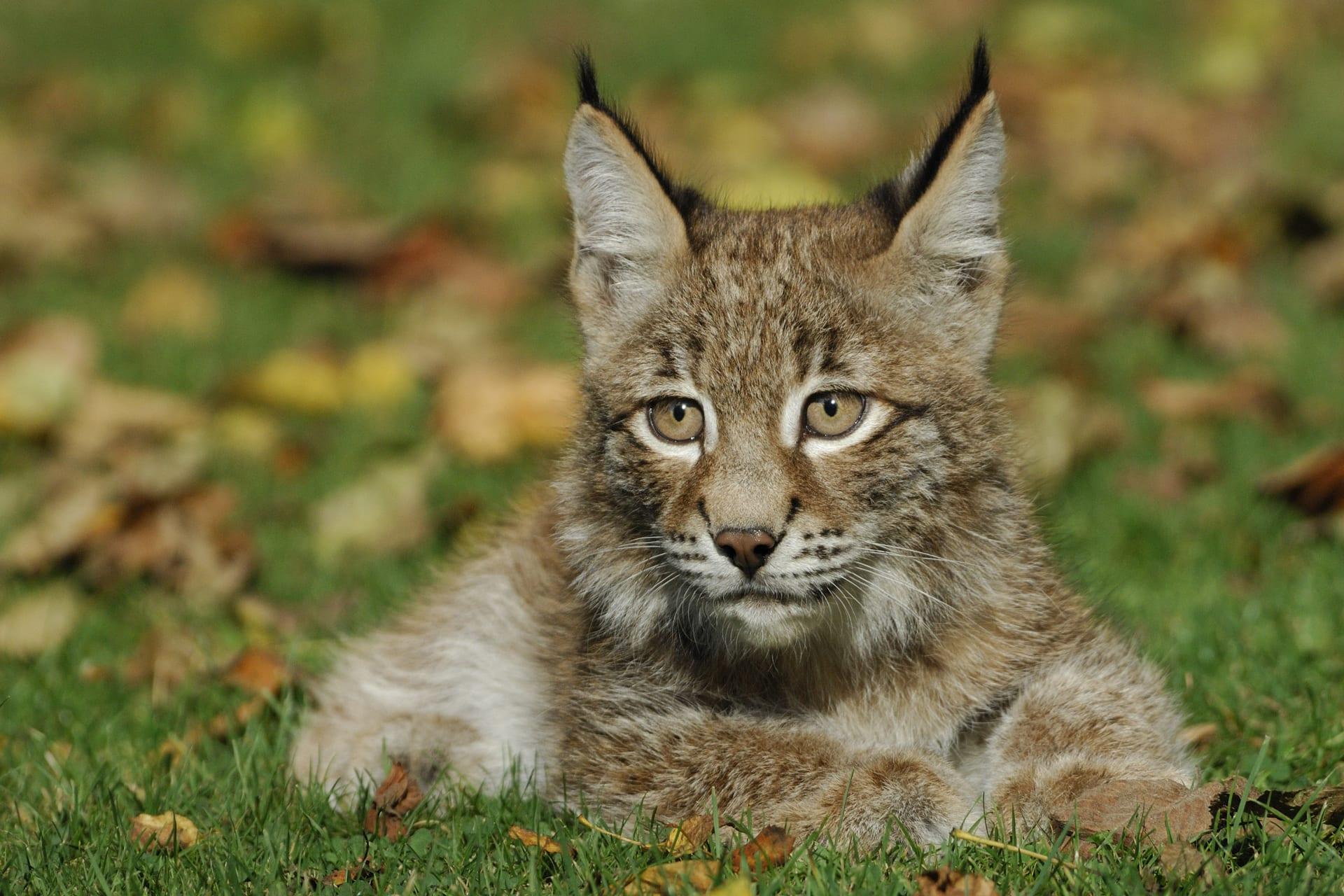 Europese Lynx Dierenrijk