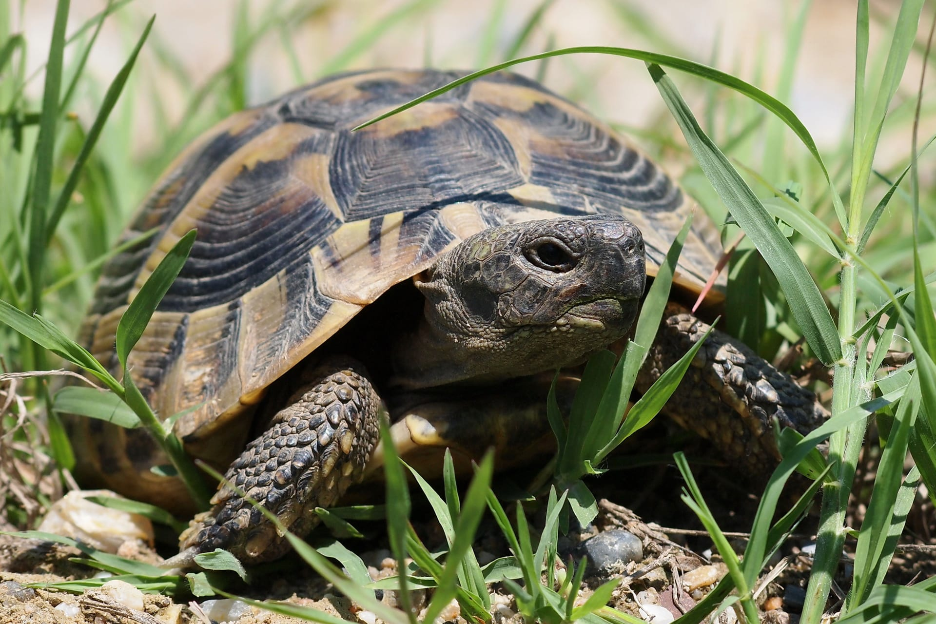 Griekse Landschildpad Dieren Van Dierenrijk D 233