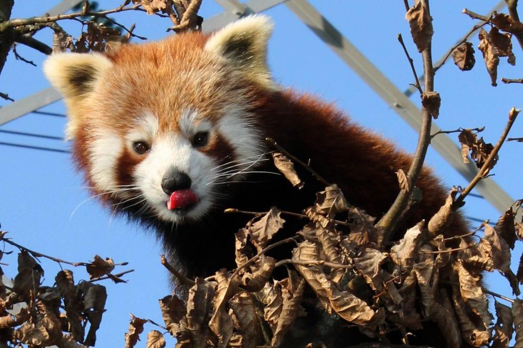 Rode Panda Dieren Van Dierenrijk D 233 Familiedierentuin