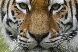 dieren dierenrijk siberische tijger