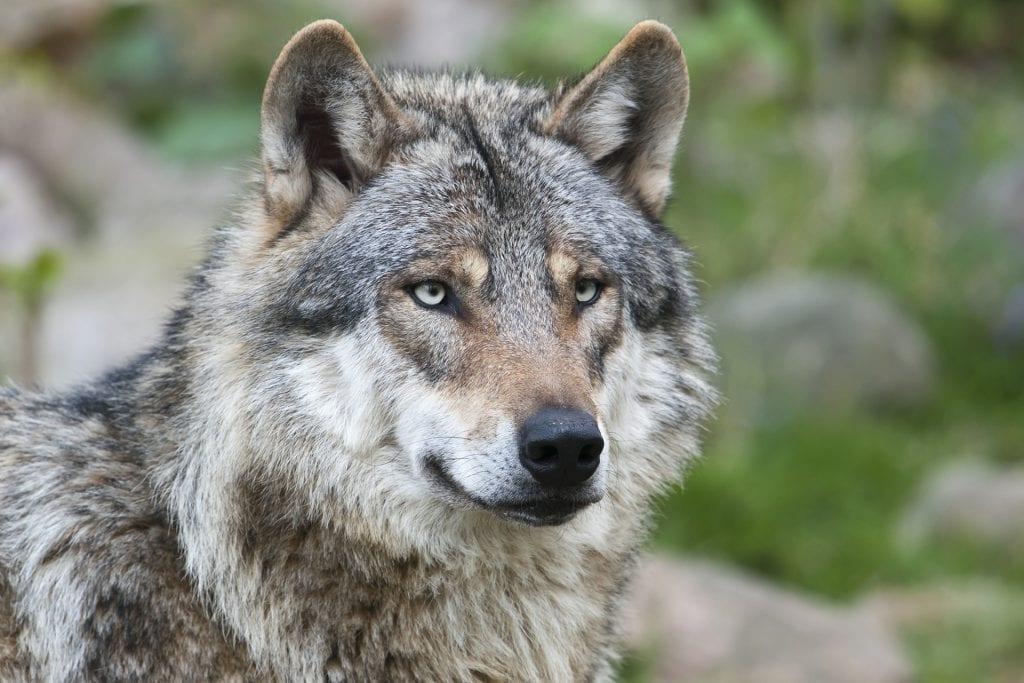 Wolf Dierenrijk