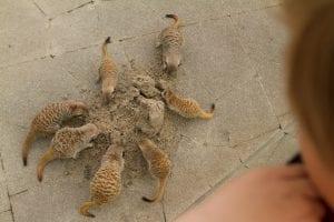 dierenrijk stokstaartjes eten