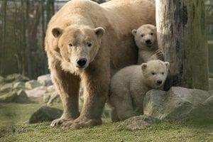 dierenrijk-ijsberen-tweeling