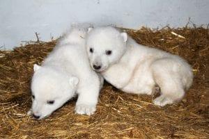 ijsbeerupdate-dierenrijk-jonge-ijsberen