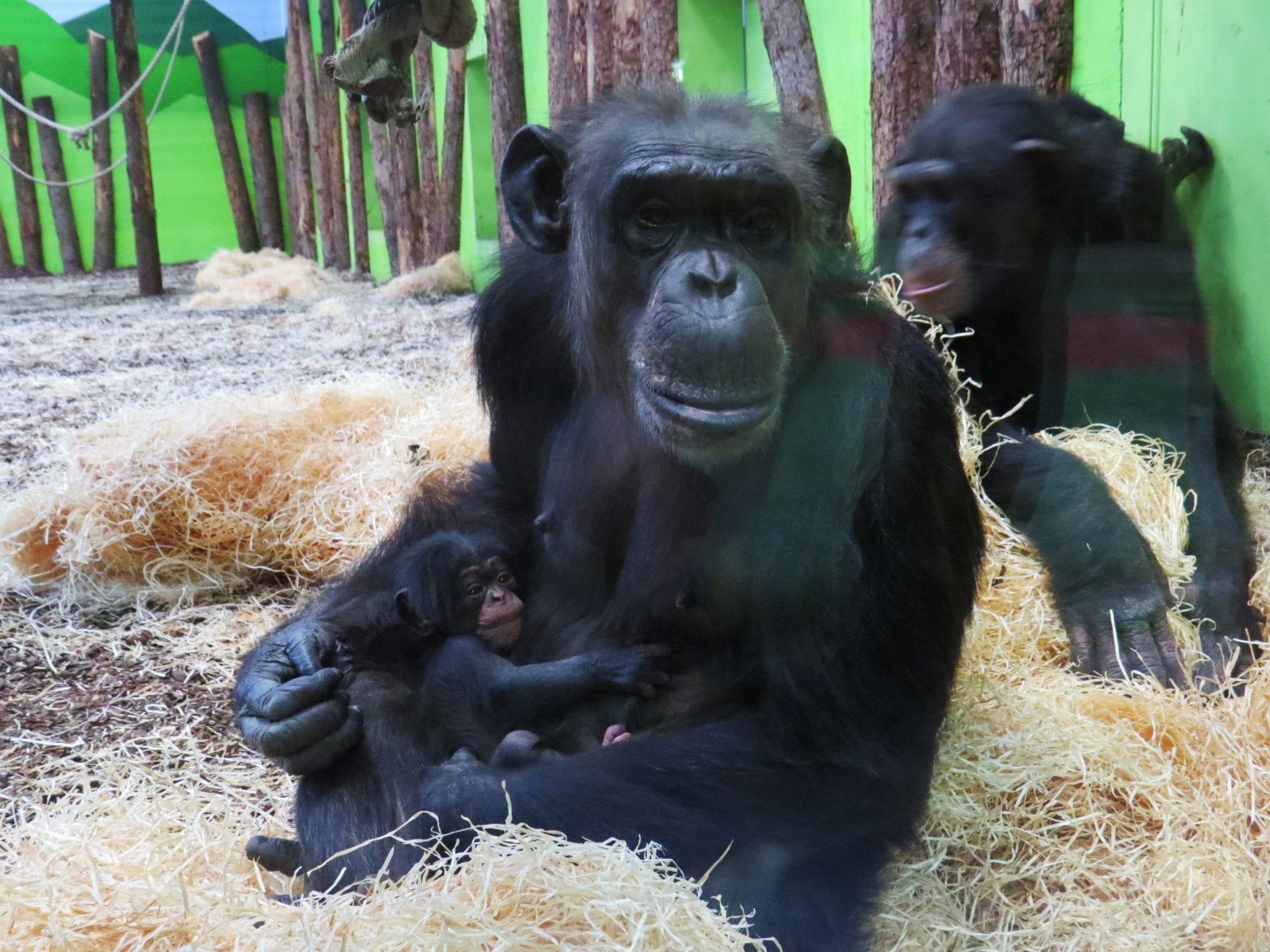 Pasgeboren Chimpansee Heet Kibibi Dierenrijk