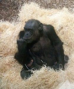 chimp-baby