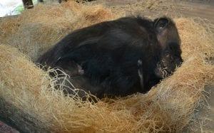chimpansee-geboren-2
