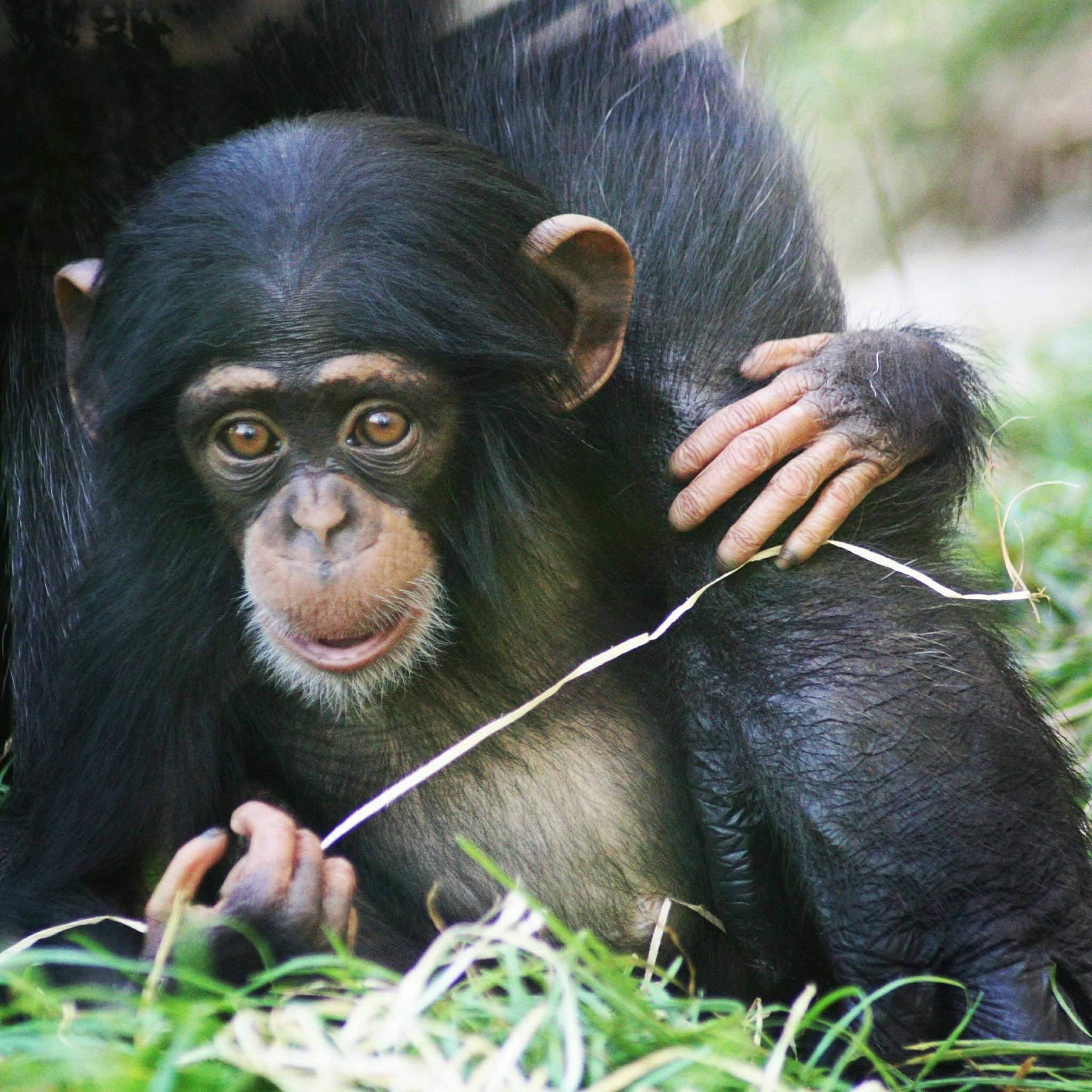 Baby Chimpansee Geboren In Dierenrijk D 233 Familiedierentuin