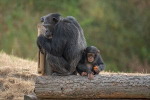 Jonge chimpansee Kibibi