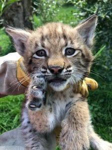 Lynx geboren Dierenrijk