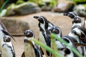 Opening pinguïn verblijf