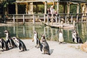 dierenrijk-pinguins